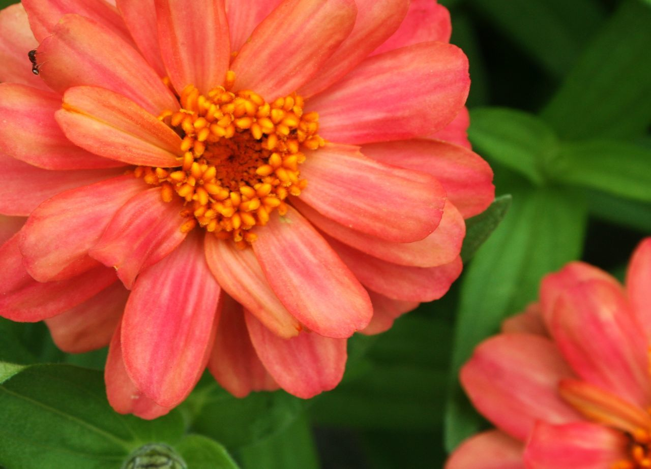 Directly Above Shot Of Zinnia Flowers Blooming At Park