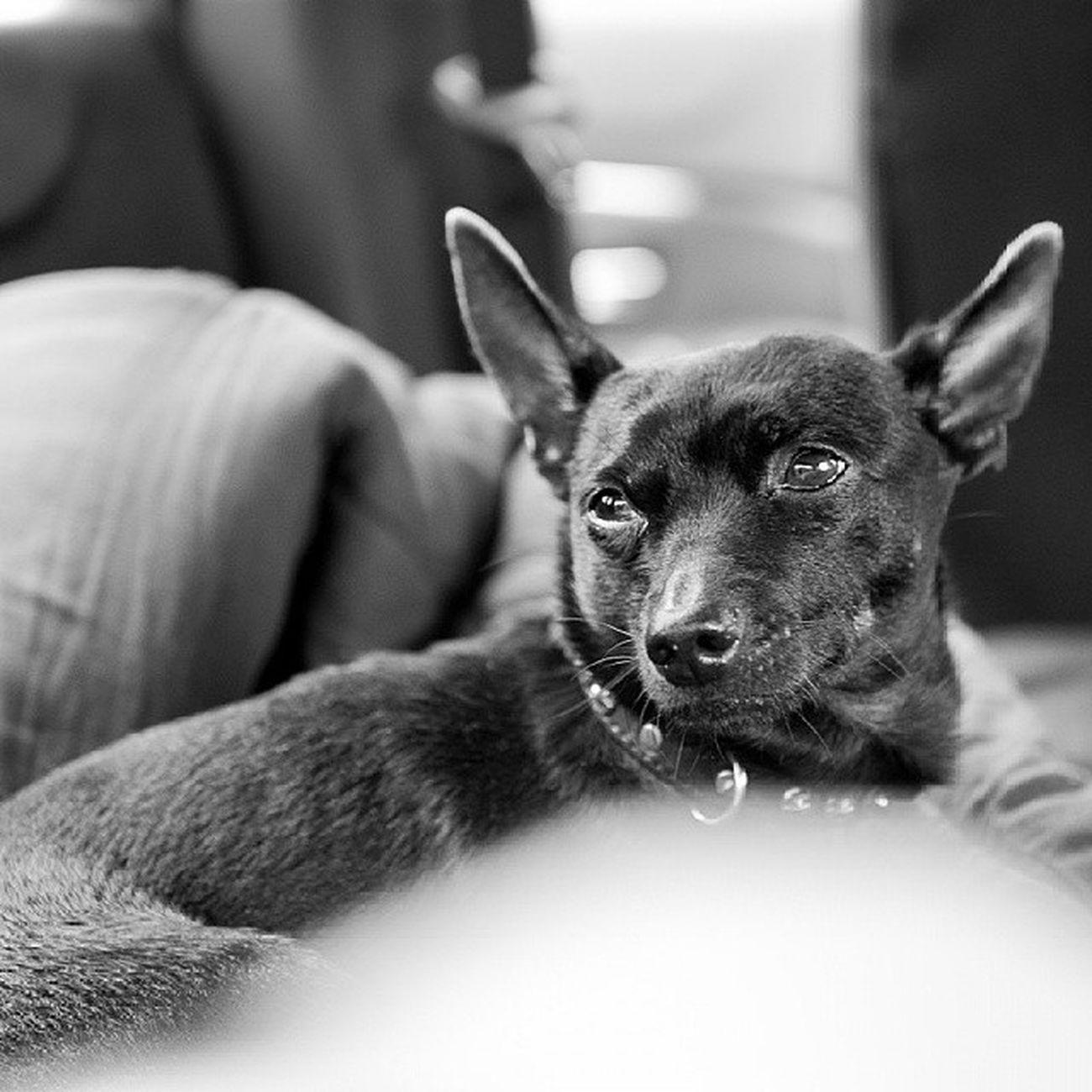 Russia Dog Animals Zevs