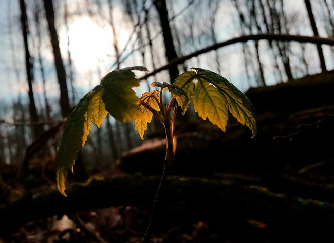 The Week On Eyem New Life Yeah Springtime! Spring Has Arrived Plants Leafs Leaf Silhouette Sunshine EyeEm Best Shots Plant Life Springtime Taking Photos Capture The Moment Check This Out Tree Silhouette Our Best Pics New Still Life Hello World Nature My Daily Pics Nature On Your Doorstep
