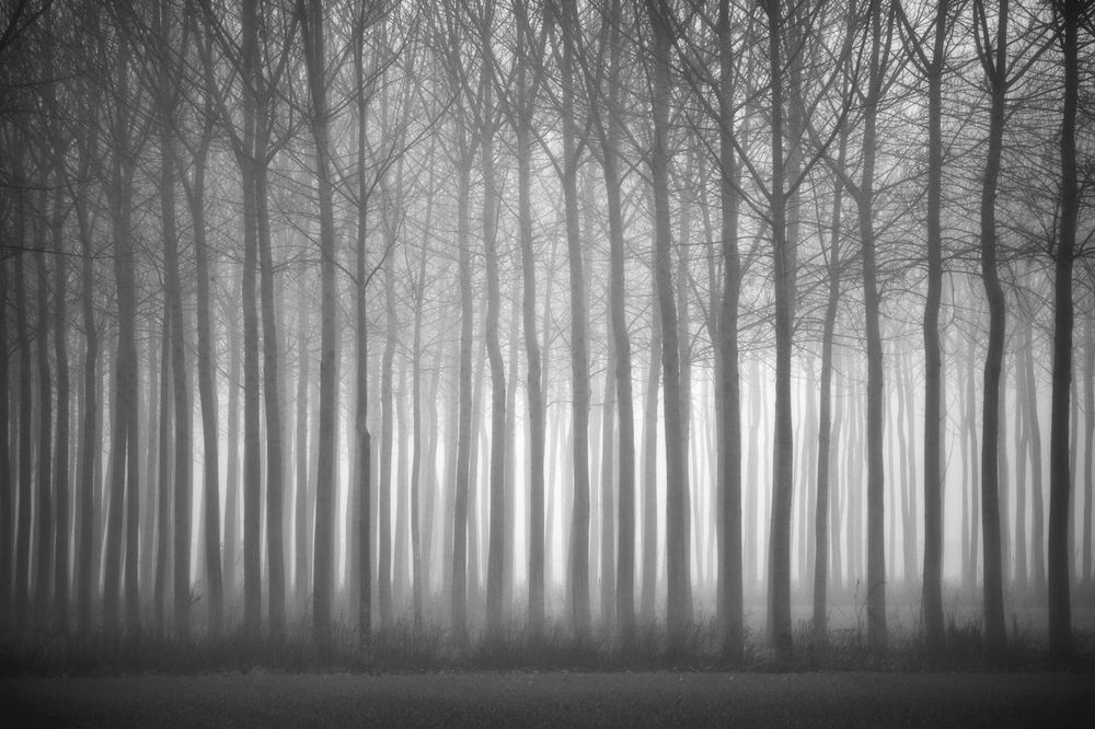Light Misty Morning Trees Bare Tree Beauty In Nature Branch Day Fences Fog Forest Growth Hazy  Landscape Mist Nature No People Outdoors Poplars Scenics Surreal Tranquil Scene Tranquility Tree Tree Trunk