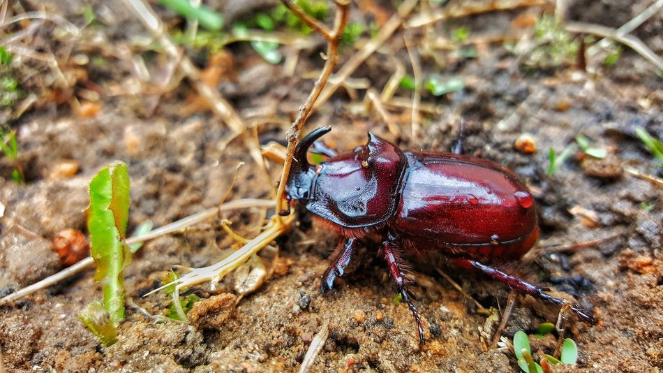 One Animal Animal Themes Insect Animals In The Wild Nature Close-up Outdoors Animal Wildlife No People Day Full Length Mammal Growth Beauty In Nature Beatle Beatles Beatlemania Beatle In My Garden Beatl Rhinoceros
