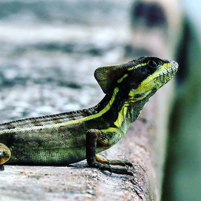 Lizard Lizard Nature Animal Park Fiunaturepreserve FIU