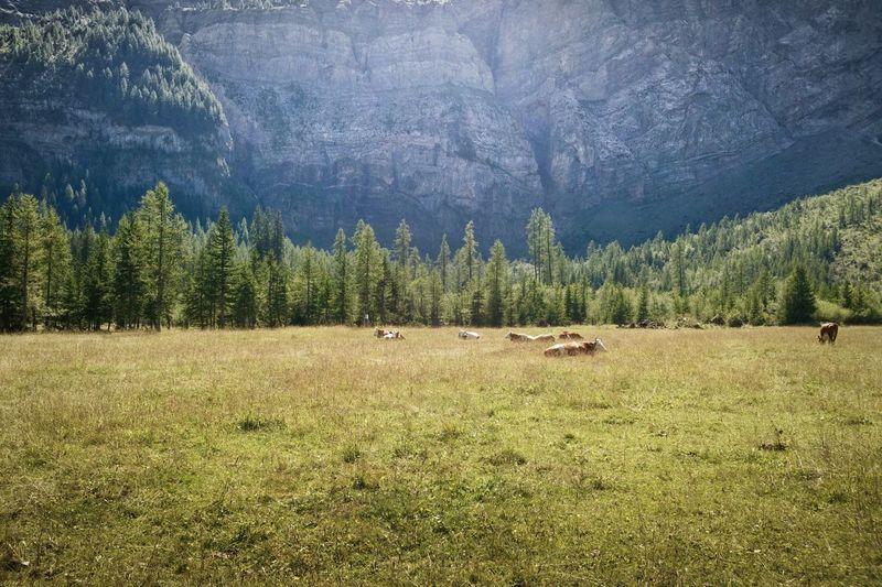 Sibebrünne Wildstrubel Lenk Simmental Berner Oberland Switzerland Alps Mountains Cows