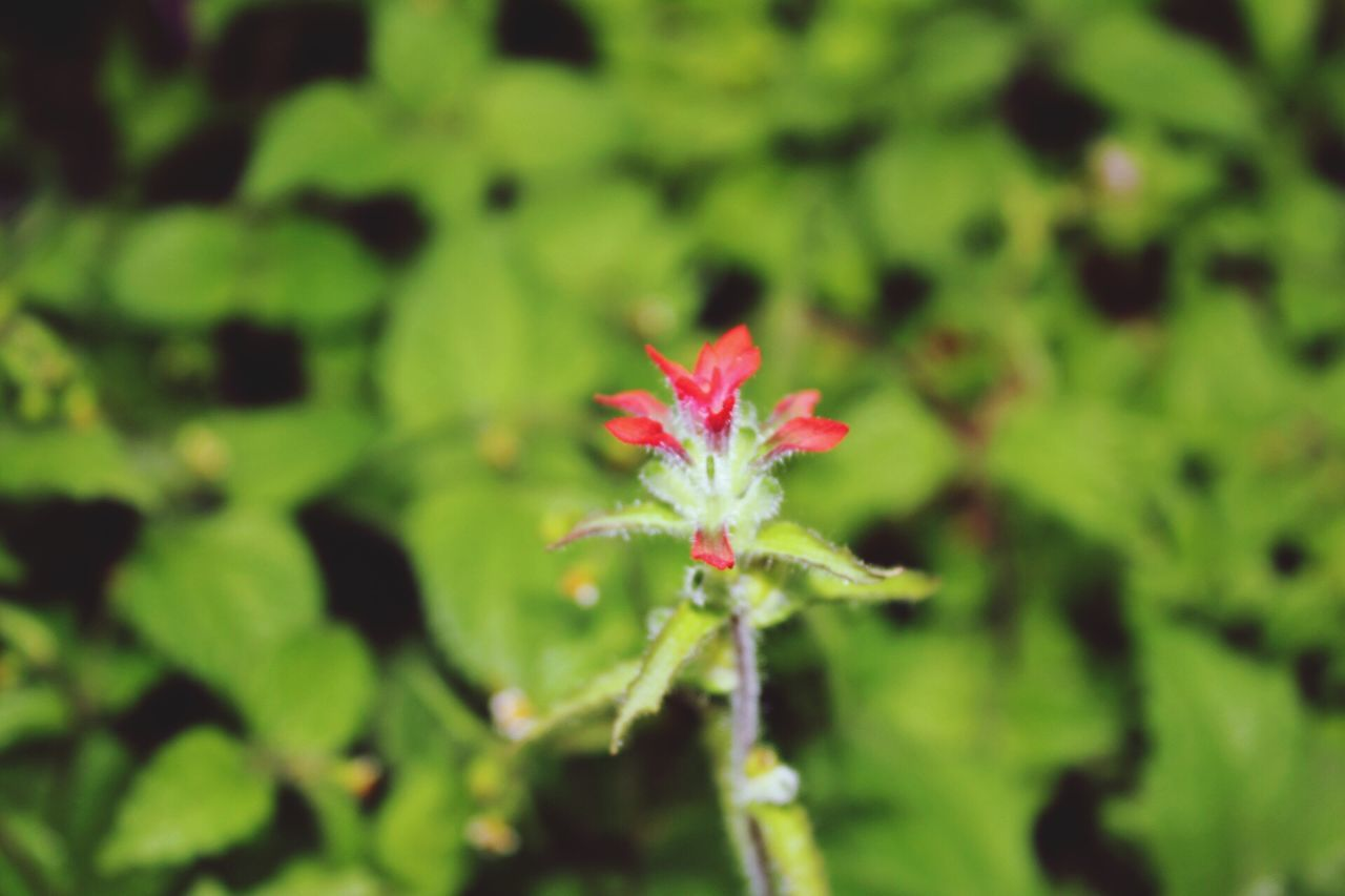 growth, green color, plant, nature, leaf, fragility, flower, close-up, beauty in nature, no people, red, outdoors, day, freshness, flower head