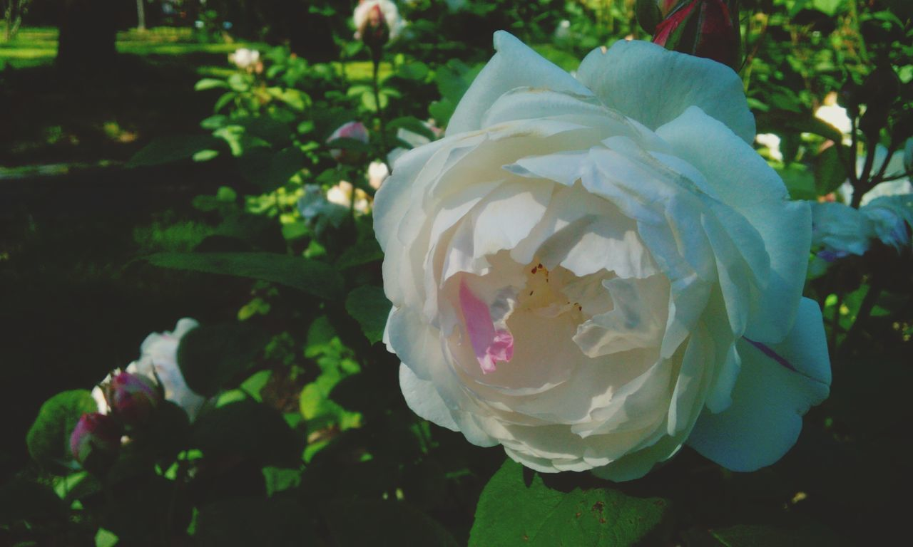 White Rose Taking Photos Hanging Out In Rose Garden Close Up Photography Close Up Nature Beautiful View Flowers_collection Flowers,Plants & Garden Rose🌹 Garden Photography White Roses White Beautiful