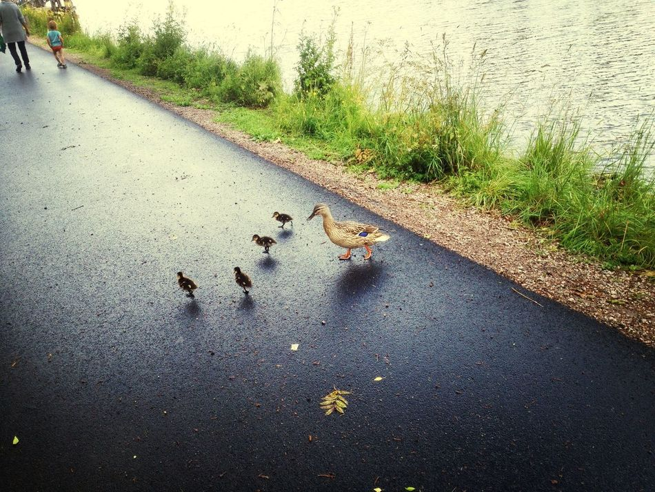 Beautiful stock photos of duck, Animal Family, Animal Themes, Day, Duck