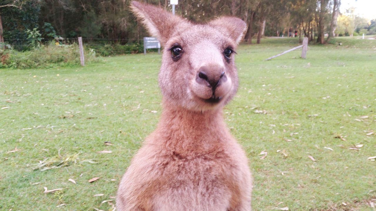 Beautiful stock photos of kangaroo, Animal Themes, Day, Front View, Grass