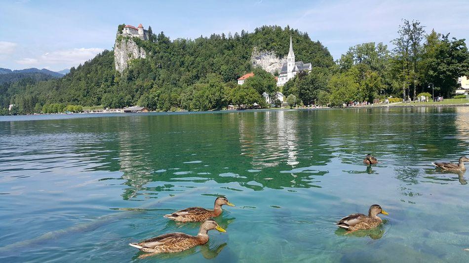 Bled, Slovenia Lake Ducks Vacation