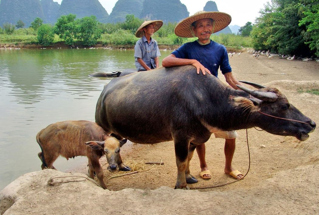 Animal Animal Themes China China Photos China View Domestic Animals Hat Li River Outdoors People River Two People Wasserbüffel Water Water Buffalo New Talents