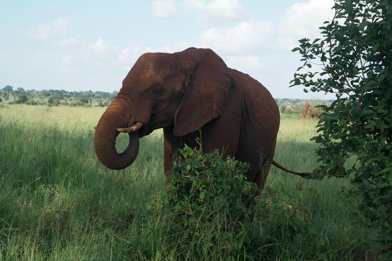 African Elephant Animal Wildlife Animals In The Wild Bush Nature Nature Reserve Outdoors Safari Safari Animals Simplistic Beauty Tusk Wilderness Area
