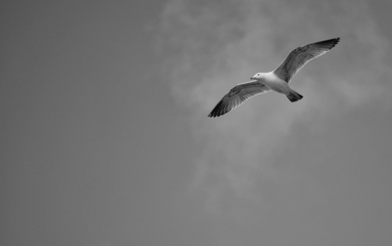 Bird No People Spread Wings Nature Sky Flying Freedom Monochrome Black And White Soaring Flight Free In Flight Gull Wings Flying Bird Avian Seagull Feathered Sharp Thermals Outdoors Mid-air One Animal Close-up