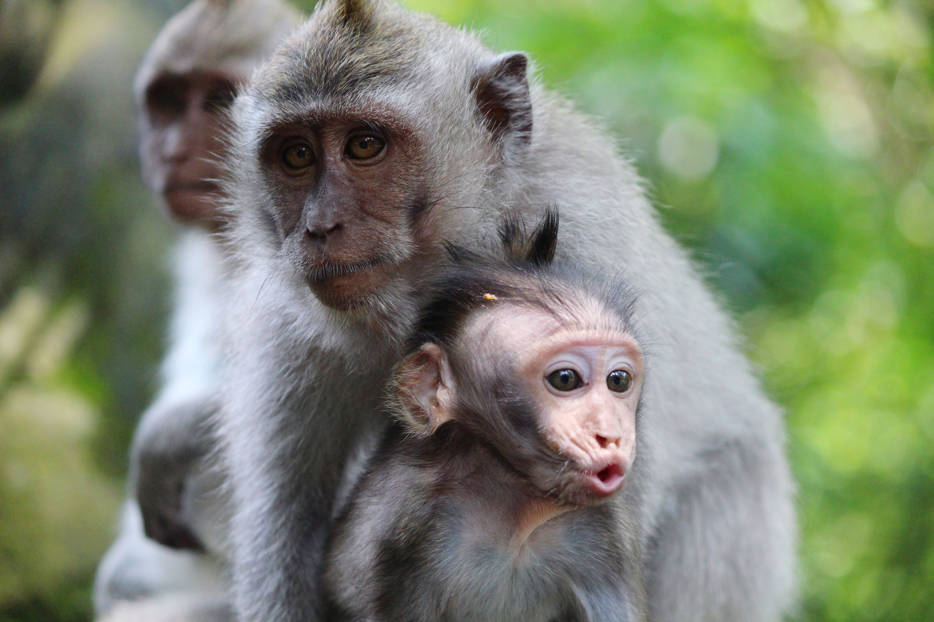monkey, infant, focus on foreground, two animals, animals in the wild, young animal, animal themes, animal family, mammal, togetherness, primate, animal wildlife, outdoors, day, nature, looking at camera, close-up, portrait