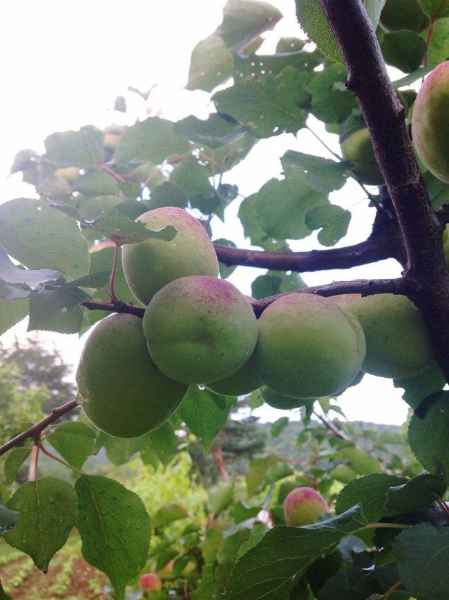 Fruit Tree Home Nature