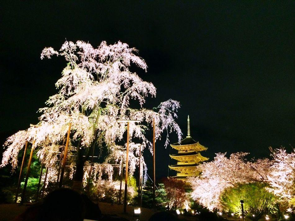 枝垂れ桜 Kyoto Japan Temple Toji Temple Cherry Blossoms Weeping Cherry Tree Five-storied Pagoda Japanesebeauty