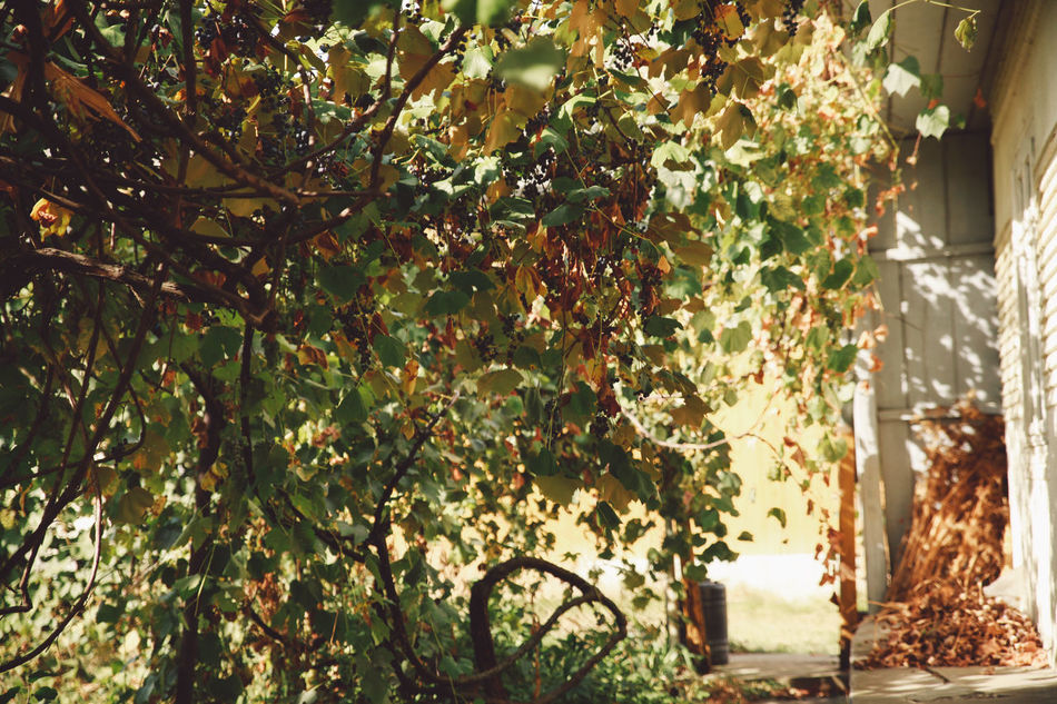 Autumn Beauty In Nature Branch Day Grapes Green Color Growth Leaf Nature No People Outdoors Plant Sunlight Tree Vine Vineyard