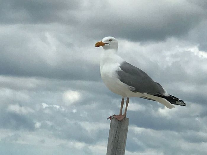 Animal Themes Bird One Animal Cloud - Sky Animals In The Wild Sky Day Animal Wildlife Perching Outdoors Low Angle View Seagull No People Nature Beak