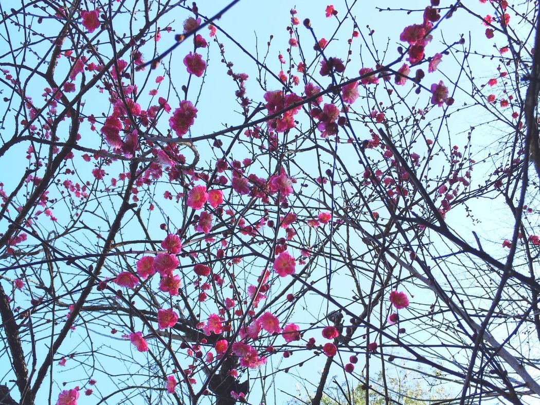 Japan Japanese Apricot Blossoms Spring Spring Is Coming  Japanese Ume