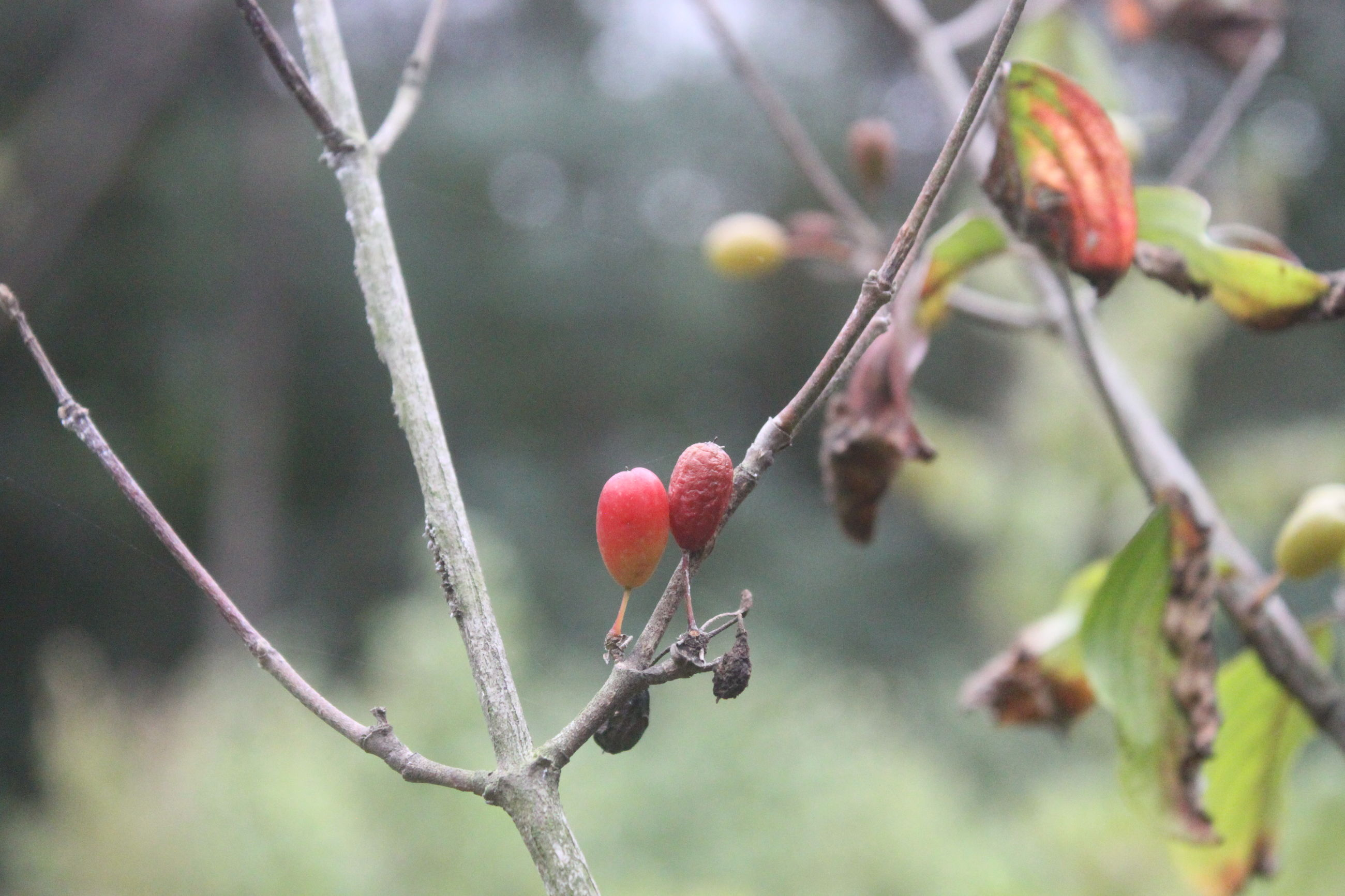 focus on foreground, close-up, growth, tree, branch, twig, stem, red, nature, plant, day, flower, beauty in nature, new life, thorn, outdoors, springtime, fragility, freshness, spiked, berry, vibrant color, tranquility, growing, no people, green