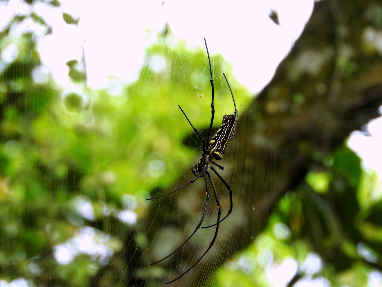 "Itsy Bitsy Spider [Golden Orb Weaver ""Nephila pilipes""] ~ Animal Themes Animal Wildlife Animals In The Wild Bali Close-up Day Focus On Foreground Hanging Around Insect Lying In Wait Nature No People One Animal Outdoors Scary Spider Spider Web Spinning Web"