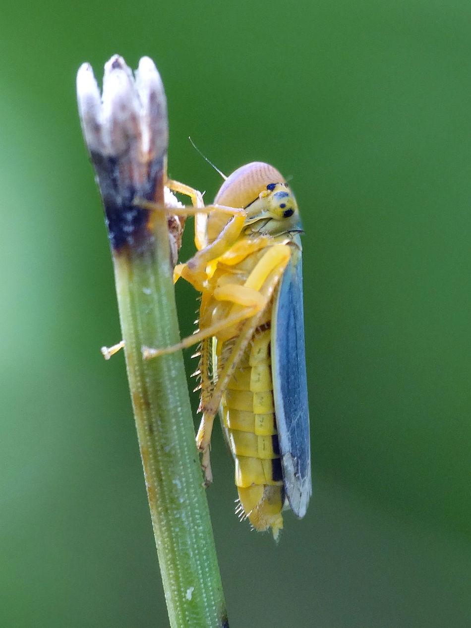 Cicadella Viridis - Serchio River Arthropoda Beauty In Nature Cicadellidae Close-up Hemiptera Hexapoda Insect Insect Close-up Insect Macro  Insect Macrophotography Insecta Nature Outdoors Maximum Closeness