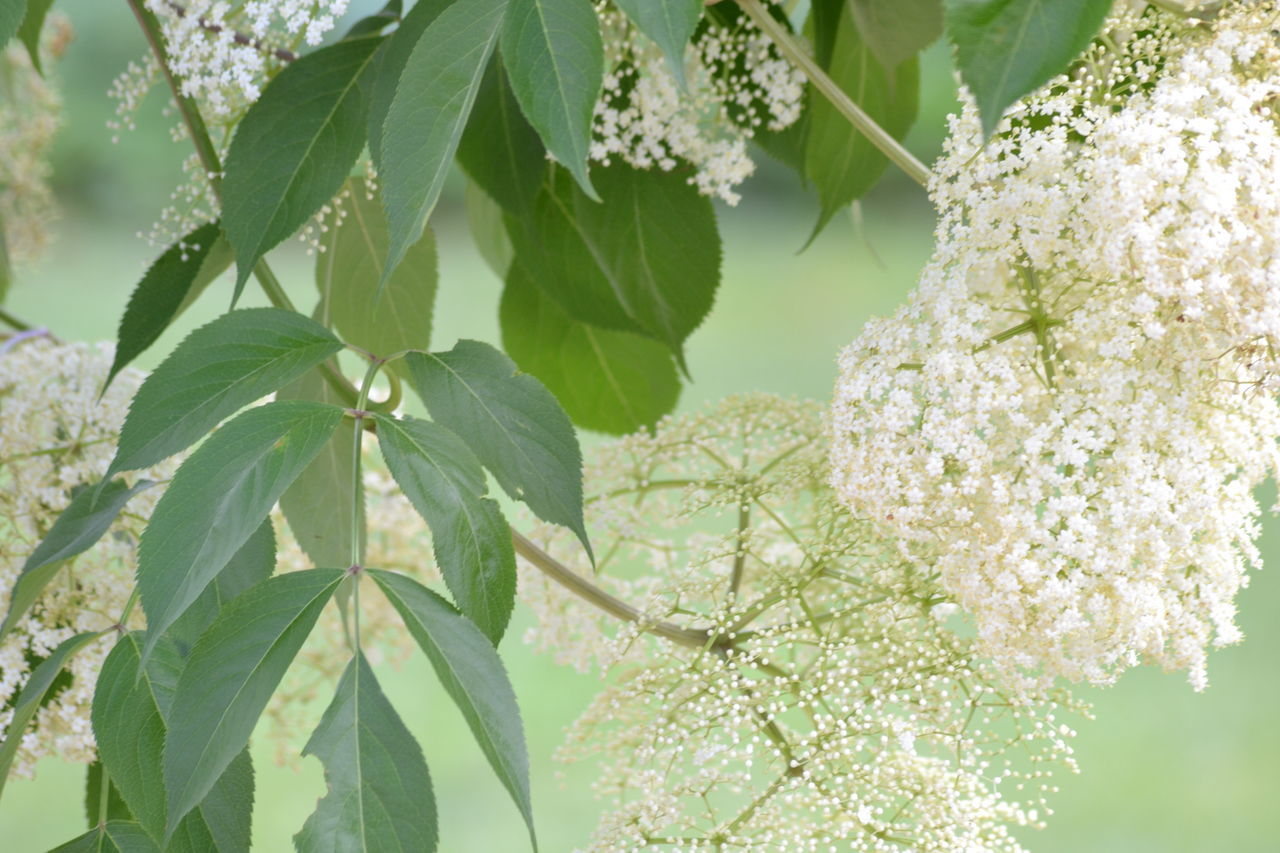 leaf, growth, nature, beauty in nature, fragility, plant, freshness, flower, green color, no people, close-up, outdoors, day, tree, branch, flower head