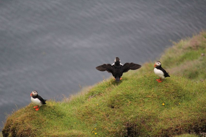 Beauty In Nature Bird Cloud - Sky Day Grass Grassy Green Color Iceland Landscape Mallard Duck Nature No People Outdoors Puffins Sky Tranquil Scene Tranquility Westman Island