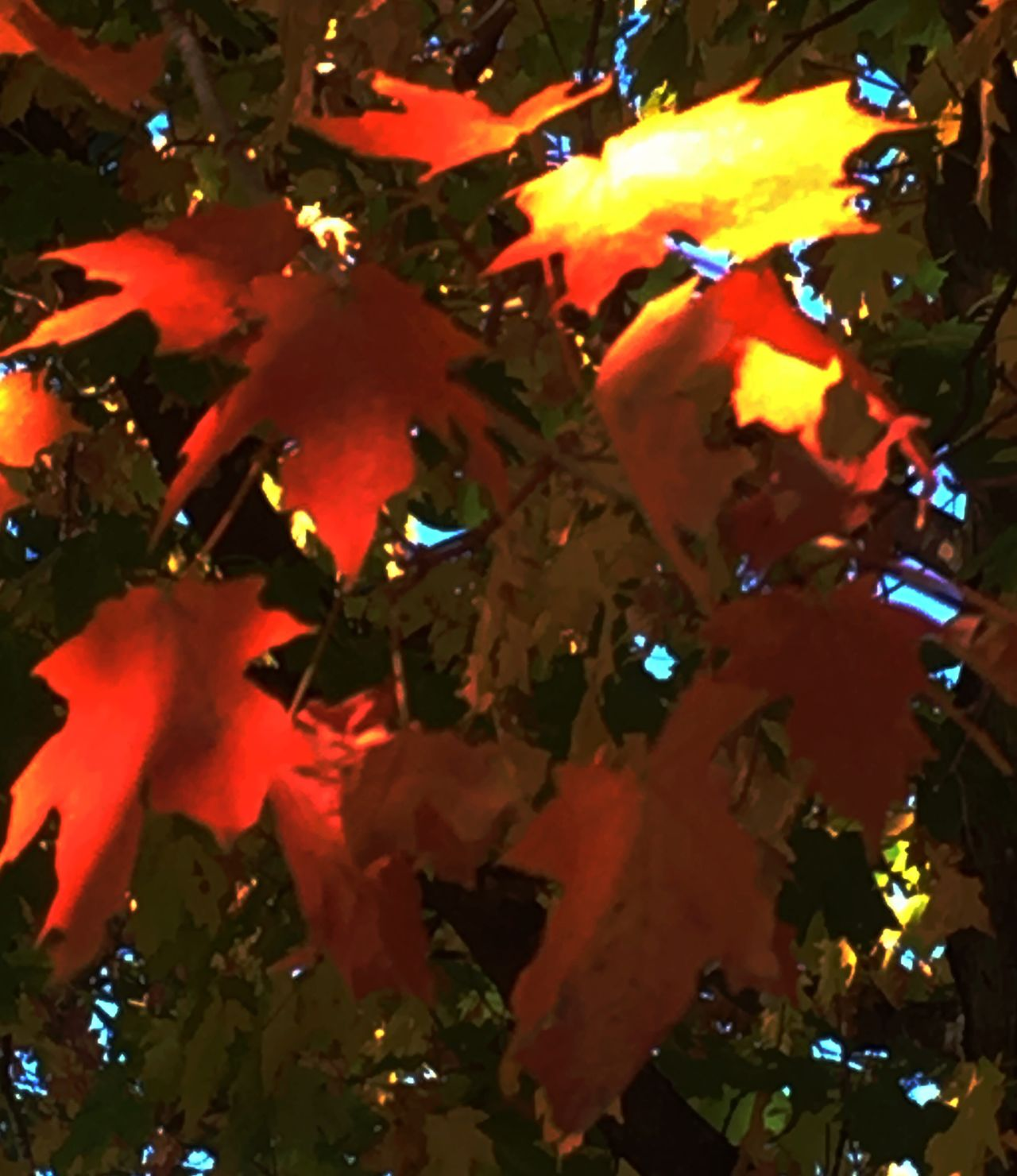 Colors of Autumn Autumn Leaf Maple Tree Change Maple Leaf Tree Red Branch No People