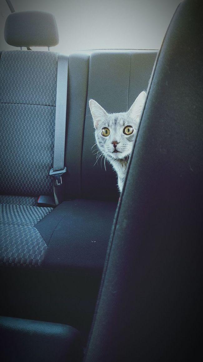 Cat Peeking Eyes Lurk  Curiosity Shy Aware Pet Backseat