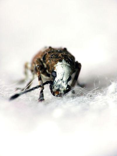 Platystomos albinus Animal Themes Anthribidae Beetle Close-up Coleoptera Day Entomology Eyes Fungus Weevil Nature No People One Animal White Background White Head Zoology