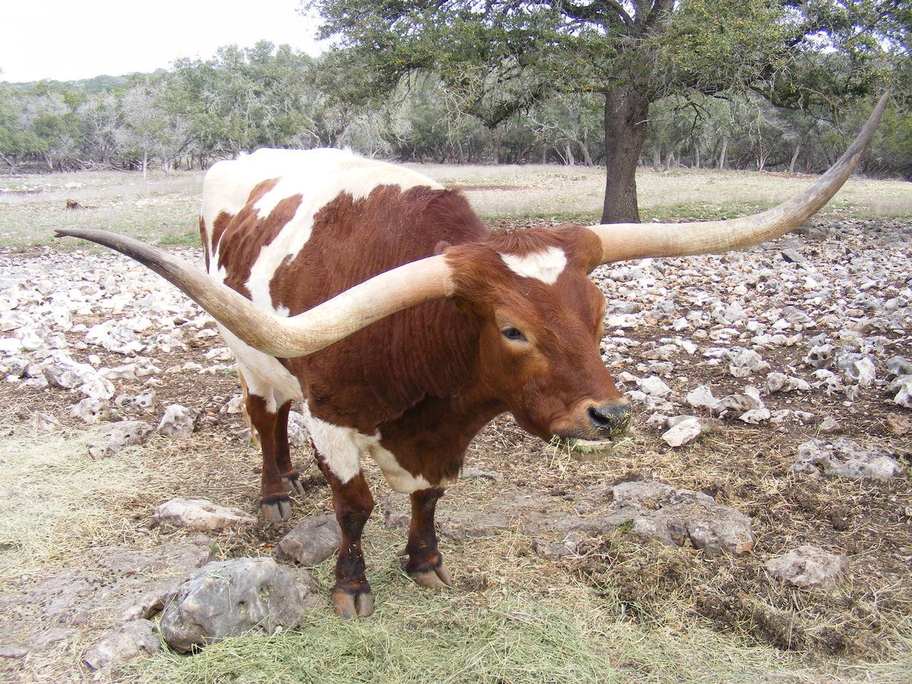 Beautiful stock photos of texas,  Animal,  Animal Themes,  Brown - Color,  Day