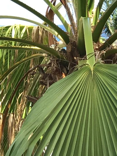 Growth Green Color Leaf Nature Palm Tree Day No People Beauty In Nature Banana Tree Tree Outdoors Plant Tranquility Close-up Freshness