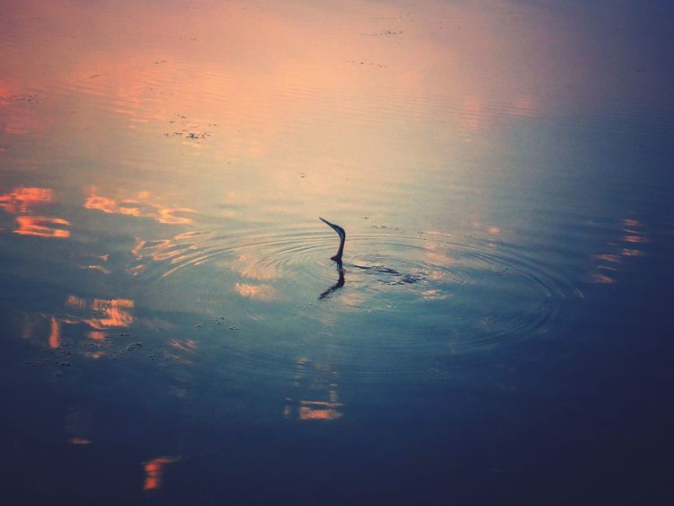 EyeEm Selects Animal Wildlife Sunset Animals In The Wild Bird Silhouette One Animal Nature Water Animal Themes No People Outdoors Flying Sky Day Flamingo Mammal