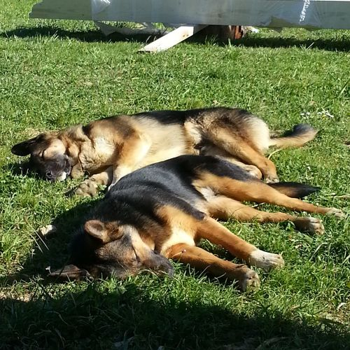 Relaxing My Dogs Cute Pets Pastores Alemanes