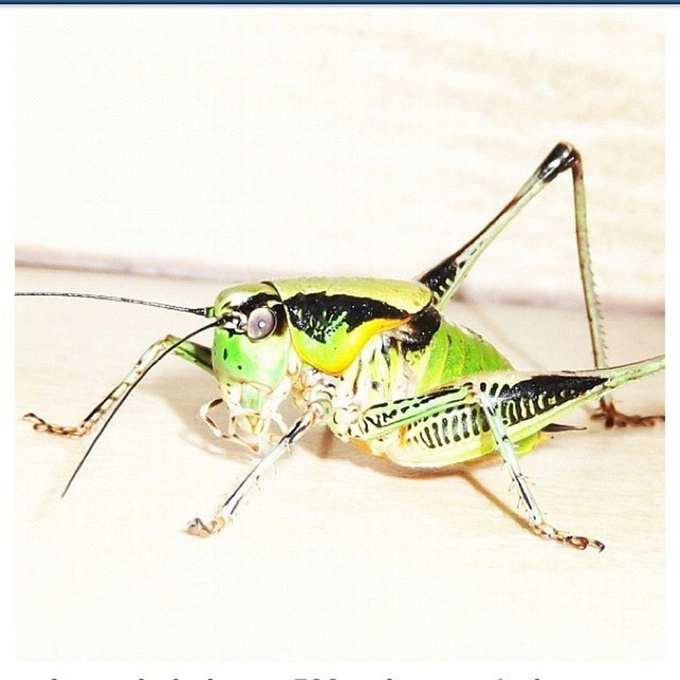 Grasshopper Macro Macroclique Insects
