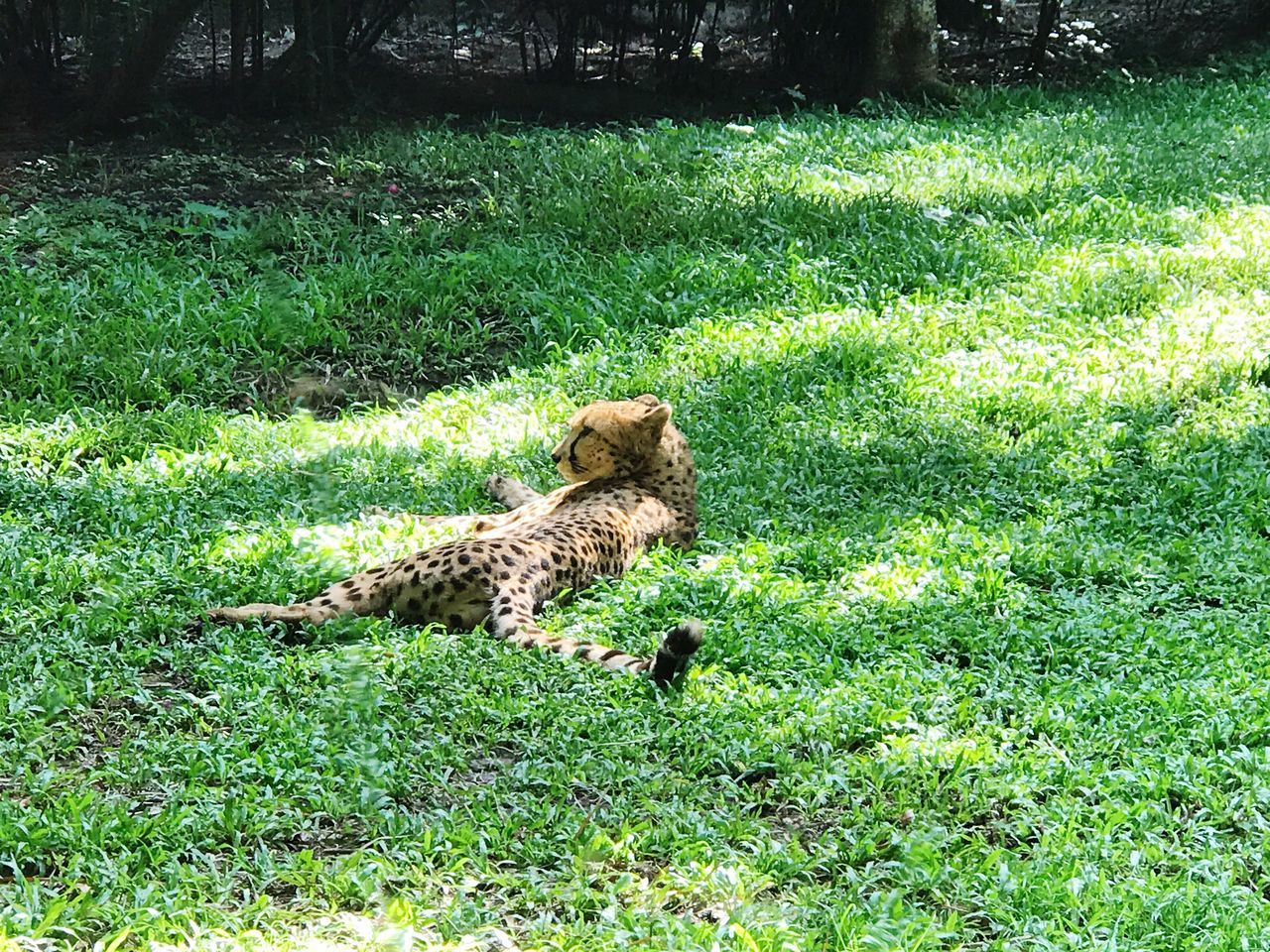 Grass Green Color Animals In The Wild Animal Themes Mammal One Animal Outdoors Nature Day Animal Wildlife Cheetah Growth Feline No People Leopard Singapore Zoo Singapore Zoological Garden Singapore