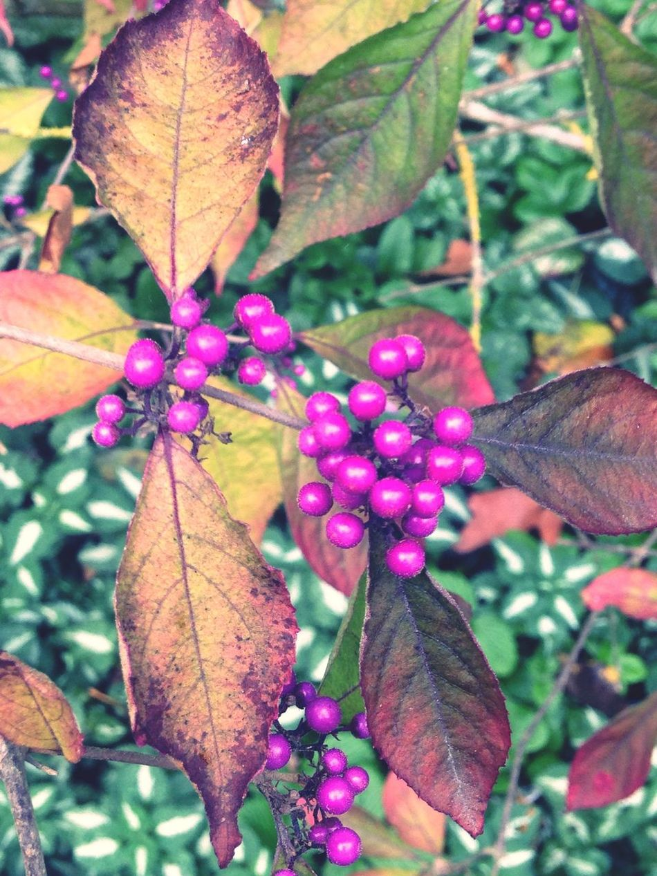 Beth Chatto gardens Leaf Nature Close-up Plant Outdoors Pink Berries Growth Beauty In Nature Autumn Freshness No People Change Day Flower Water Flower Head