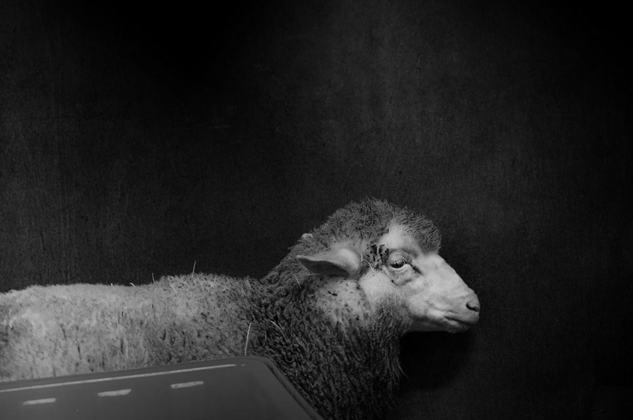 Animal Animal Photography Animals Atmosphere Atmosphere Light Black And White Black And White Photography Mysterious Mysterious Place Portrait Sheep Sheep Farm Sheep🐑 Strange