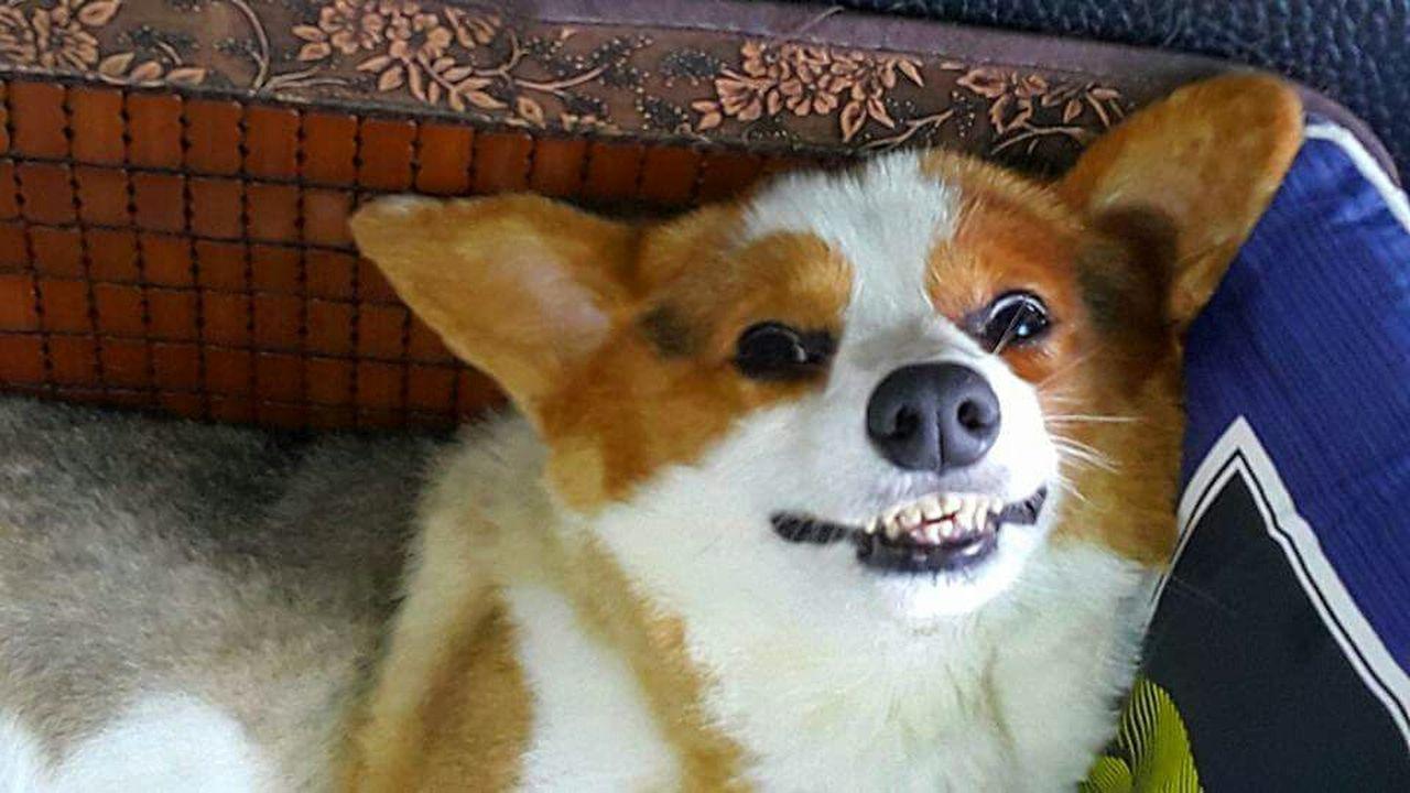 我的世界💖只有妳最懂 Welsh Corgi Cardigan Welsh Corgi Dog Smiles Tanking Photo  Sweet Dreams Cat And Dog Cute Pets