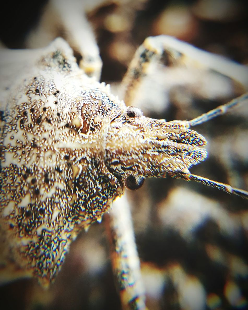 Close-up Nature Outdoors No People Day Nature Insect Insects  Insects  Tan Animals In The Wild Animal Themes One Animal Animal Wildlife Gray Stinkbug Stink Bug