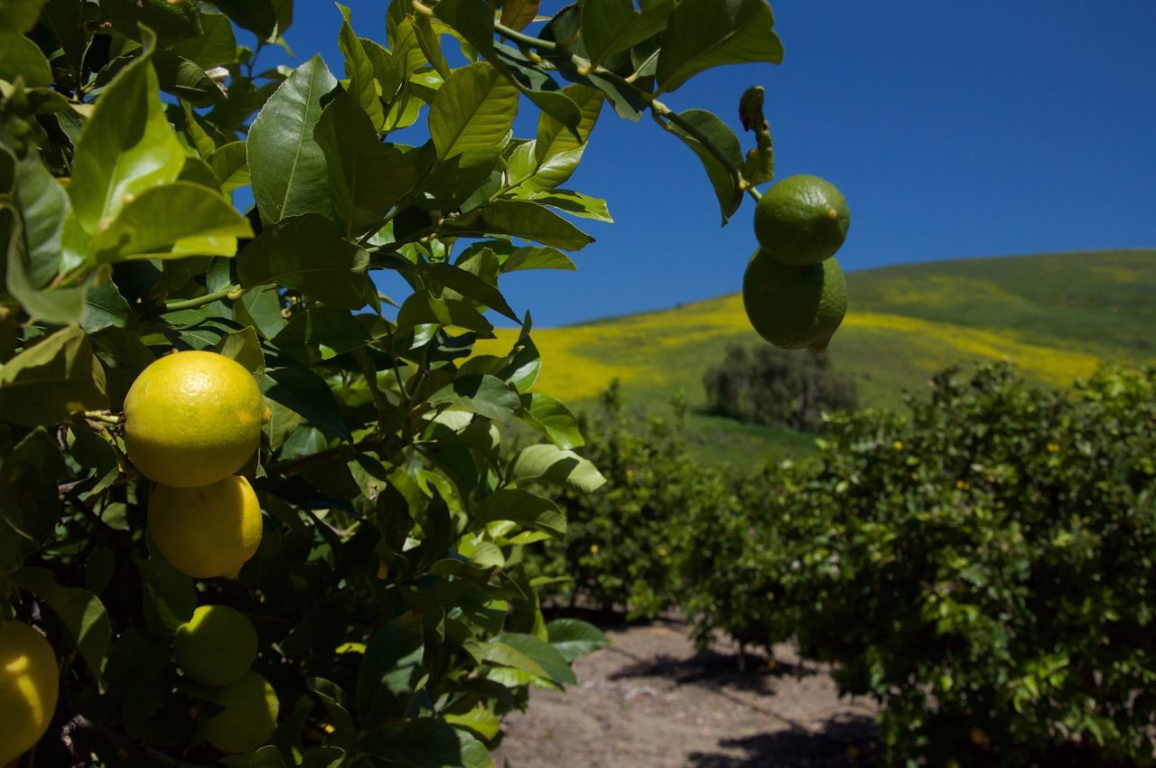 Lemon Tree Lemon Colors California Plantagen Nature Landscape Eye Em Nature Lover Travel Traveling EyeEm Best Edits EyeEmBestPics EyeEm Best Shots Eye4photography  Eye Em A Traveller EyeEm Gallery Nature's Diversities The Essence Of Summer 43 Golden Moments The Great Outdoors With Adobe