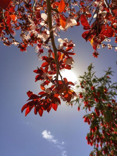 When the morning is beautiful .... wish you a nice day 😘. ......................................... Low Angle View Nature Tree Beauty In Nature Orange Color Growth Autumn Change No People Sunlight Branch Leaf Outdoors Day Freshness Close-up Maple Leaf Sky EyeEm Nature Lover Sun_collection, Sky_collection, Cloudporn, Skyporn Nature At Home