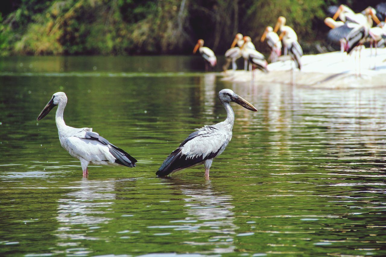 Bird Lake Animals In The Wild Wildlife Standing Lakeshore Nature Beak Waterfront Openbilled Stoke Bird Illusion Bird Photography Beauty In Nature Migratory Birds Lonesome Two Is Better Than One