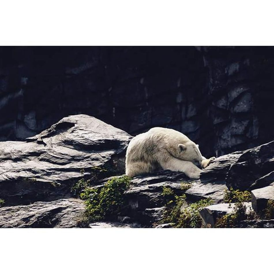 Michaellangerfotografie Animal Polarbear Fotografie Photography Photographyislife CripixtMovement