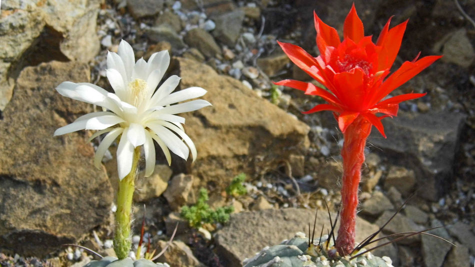 Beauty In Nature Blooming Cactus Cactus Flower Flower Flower Head Matucana, Perú Nature Red And White