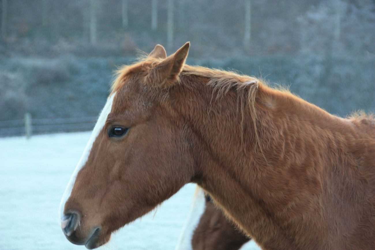 Horse Domestic Animals Mammal One Animal Animal Themes Livestock Close-up Working Animal Herbivorous Brown Mane Day Nature No People Outdoors Beauty In Nature White Color Horse Photography  Horses Tranquil Scene Frozen Winter Cold Temperature Animals In The Wild Animal Wildlife