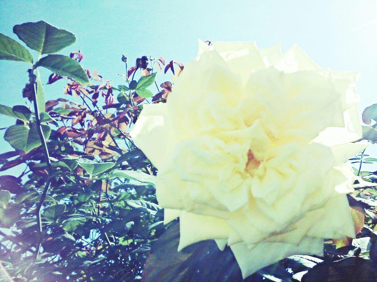 Rosa Amarela Yellow Rose flawers