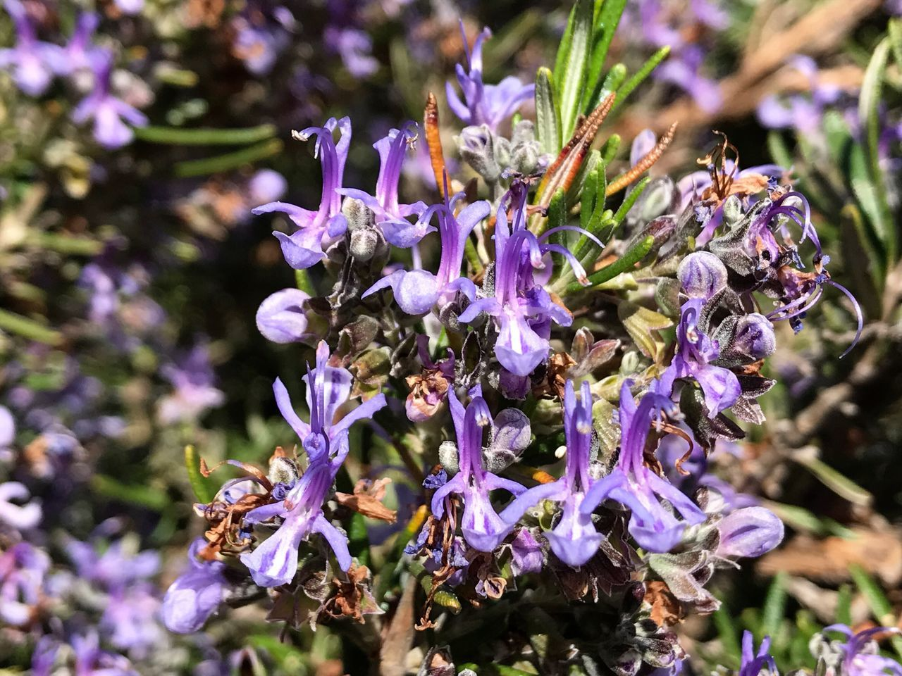 Rosemary Rosemary Herb Rosmarinus Officinalis Rosmarinus Aromatic Flower Nature Growth Beauty In Nature Purple Freshness Fragility Close-up Plant No People Outdoors Day Flower Head Spring Springtime Medicinal Plant Homeopathy Natural Medicine Medicinalherbs Odor