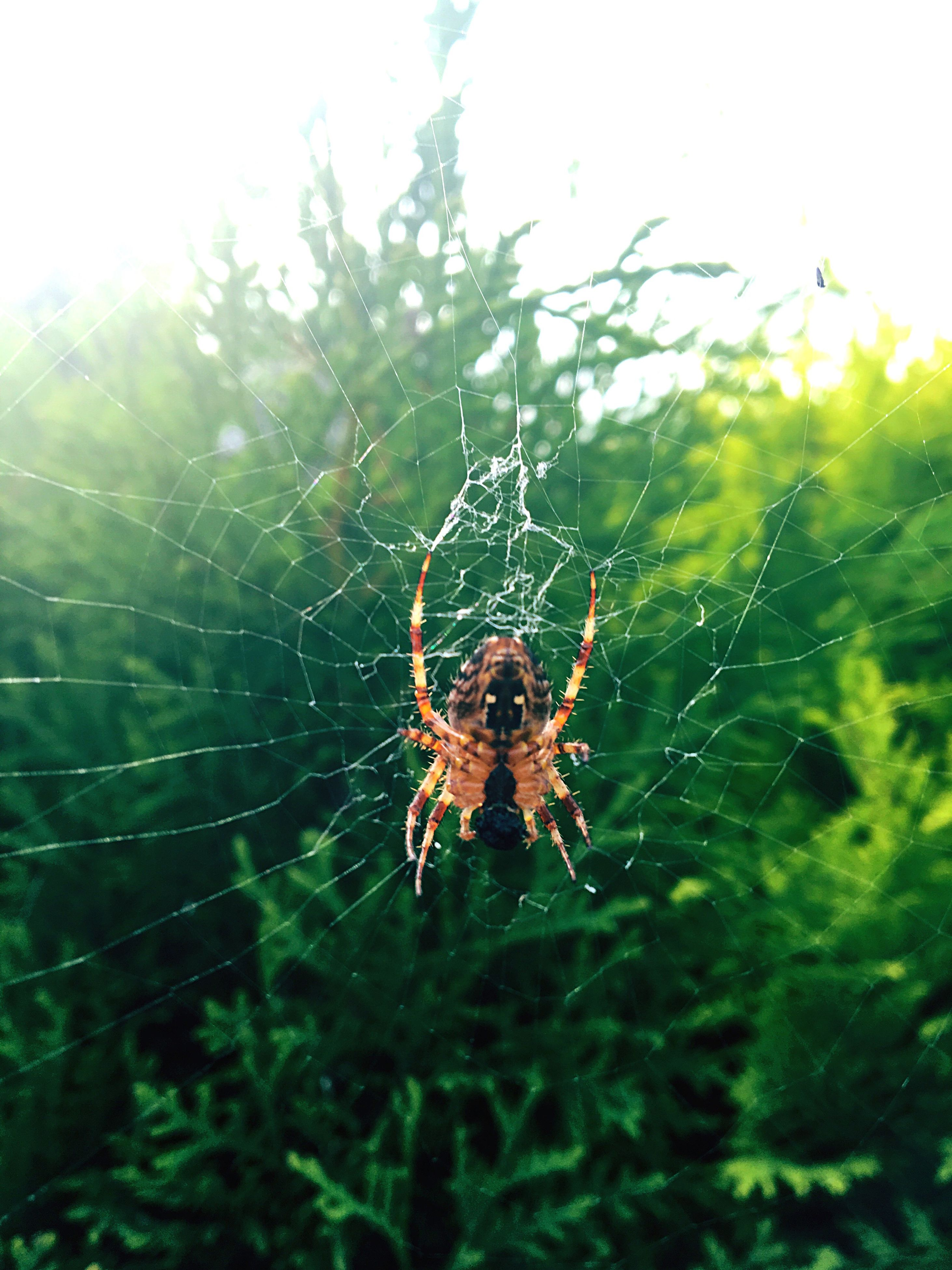 spider web, animal themes, spider, close-up, one animal, focus on foreground, animals in the wild, complexity, fragility, nature, day, zoology, intricacy, web, green color, beauty in nature, outdoors, animal markings, green, no people