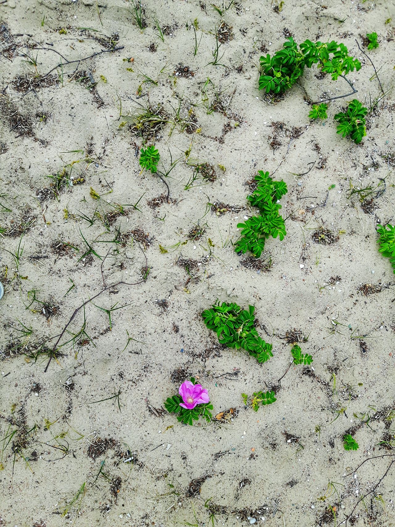Flower on a beach Sand Beach Day No People Outdoors Nature Close-up Flower On Sand Petal Flower Petal Sand Flowers Blossomed