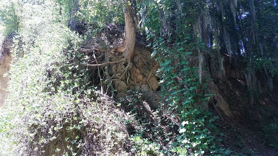 Exposed Roots Tree Roots